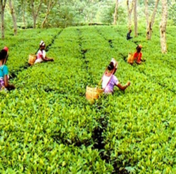 Tea leaves being plucked from a tea plantation in India.